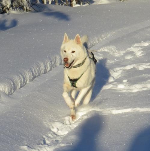 Koirien touhuja sydäntalvella